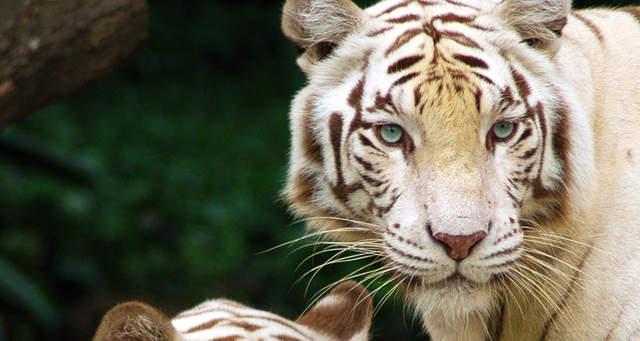 这些巨大的猫科动物看了不禁令人心醉神迷!